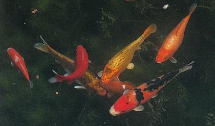 Mort d 39 un poisson rouge au jardin de la source france for Vente de poisson rouge grenoble