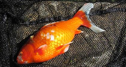 Mort d 39 un poisson rouge au jardin de la source france rhone alpes is re grenoble - Bassin balcon poisson grenoble ...